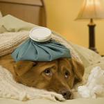 Cuidados para la próstata de tu perro