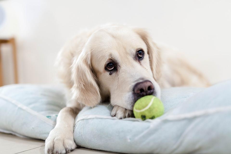 Sientes que tu perro está deprimido Mira estos 3 signos 1